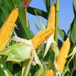 Czy kukurydza jest zdrowa?